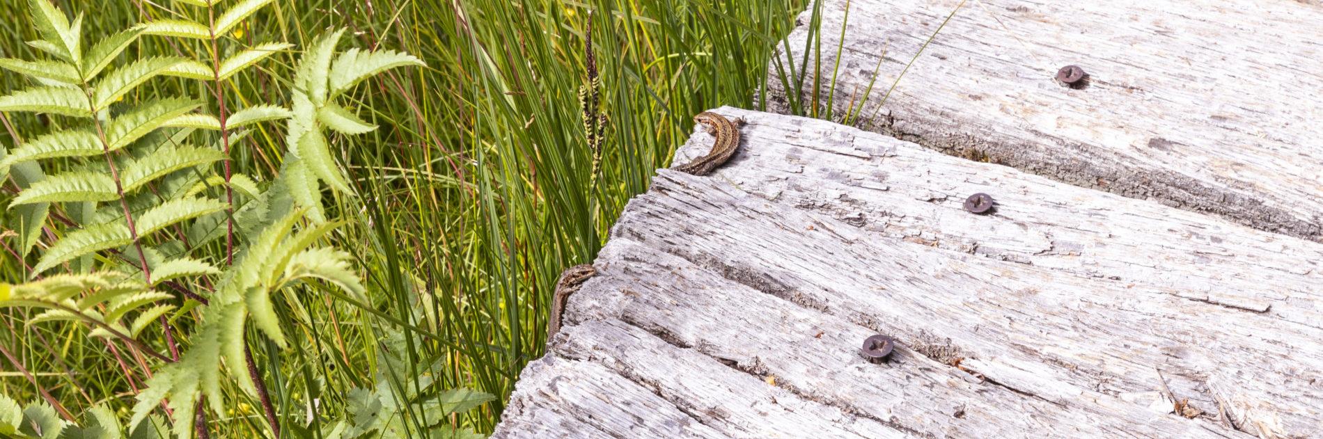 Bei einer Wanderung im Schwarzen Moor beim Dreiländereck können mit viel Glück Mooreidechsen entdeckt werden. Die Streutalallianz bietet viel für Flora und Fauna (Foto: Leska Hörner - Leskas Wunderwelt)