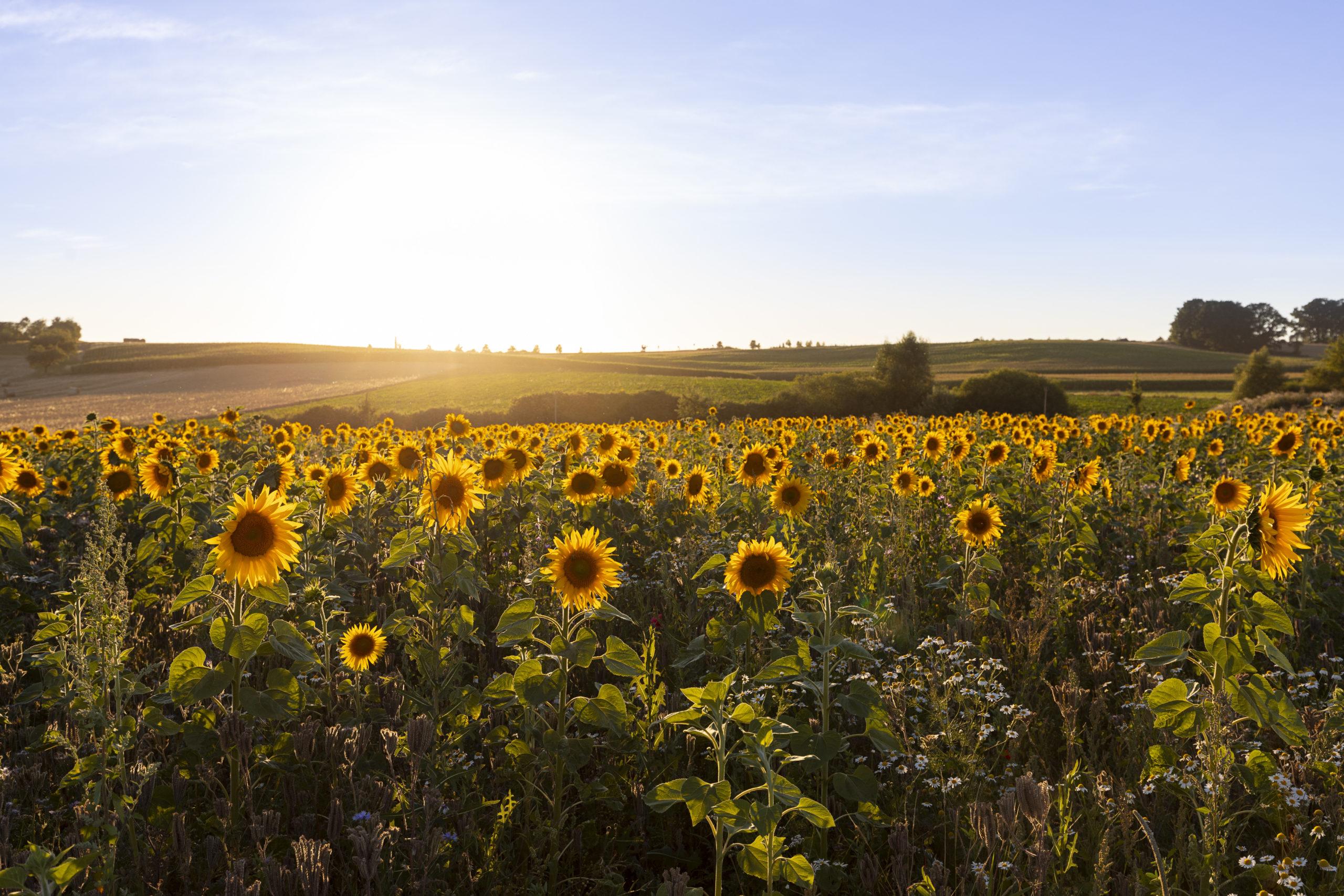 Nicht nur zwischen Hendungen und Mellrichstadt befindet sich ein Sonnenblumenfeld. Einfach ein tolles Postkartenmotiv im Streutal (Foto: Leska Wunderwelt)